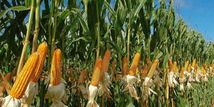 NOTICIA EN ELAGRO: Escenario productivo de maíz en chile es menos pesimista que años anteriores